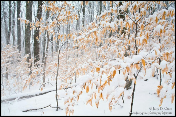 Snow accentuates the winter beech trees, Cherokee National Fores