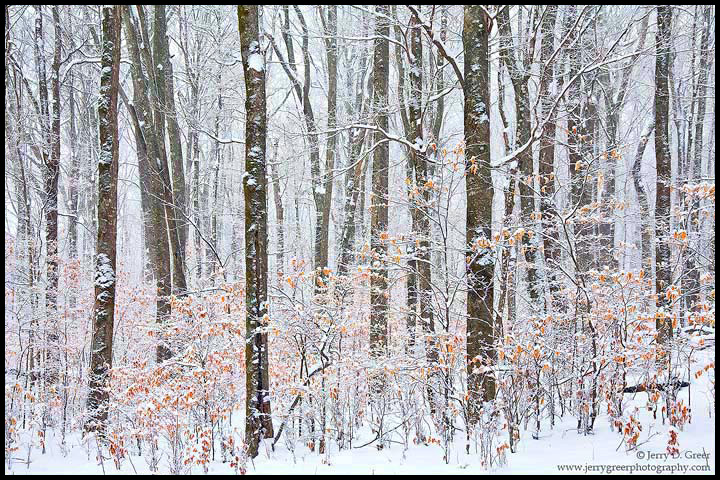 Snowy beech forest, Cherokee National Forest, Tennessee