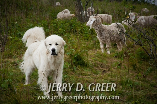 Great Pyrenees tending to the flock, Baa-tany Goat Program, Roan Highlands
