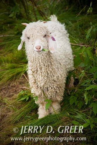 Angora kid on the job, Baa-tany Goat Program, restoring the Roan's western grassy bald corridors, Roan Highlands