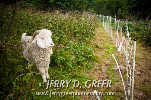 Angora wether, a castrated male sheep, Baa-tany Goat Program, restoring the Roan's western grassy bald corridors, Roan Highlands
