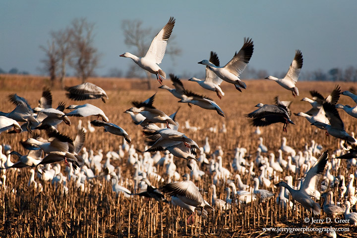 Snow geese taking flight, Pungo Unit, Pocosin Lakes NWR, NC