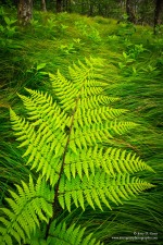 Fern in summer beech gap, Roan Highlands, TN & NC
